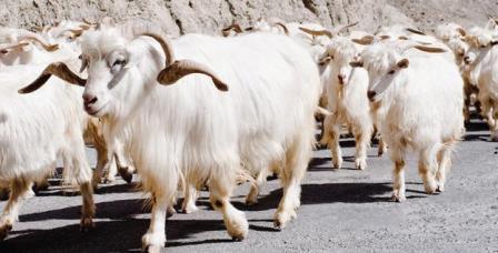 himalayan-goat.jpg